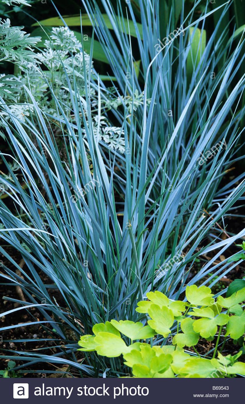 Elymus magellanicus blue wheat grass stock photo 21099907 alamy elymus magellanicus blue wheat grass workwithnaturefo
