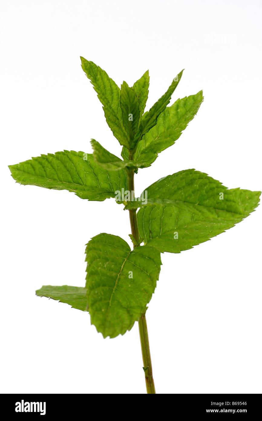 Mint Mentha sp. - Stock Image