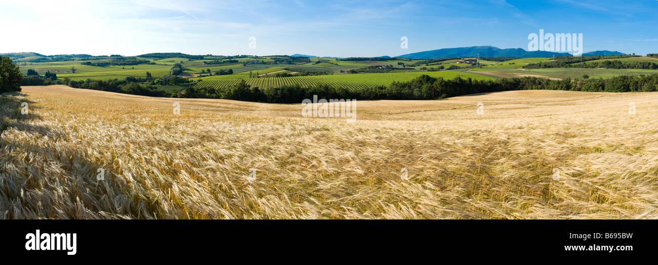 champ de blé sous le vent avant la récolte - Stock Image