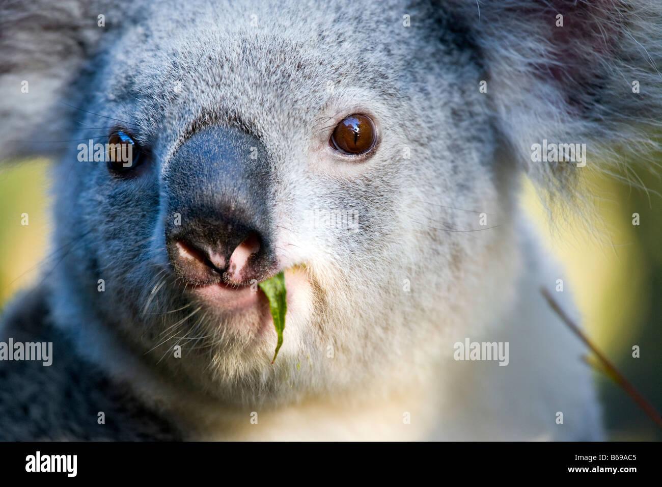 Koala eating gum leaves - Stock Image