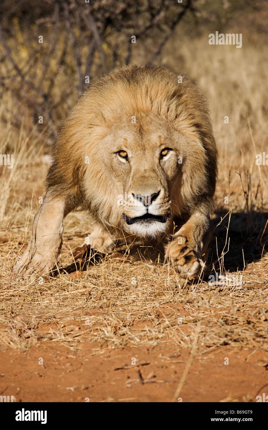 Lion Panthera leo charging towards camera Namibia Dist Sub saharan Africa - Stock Image