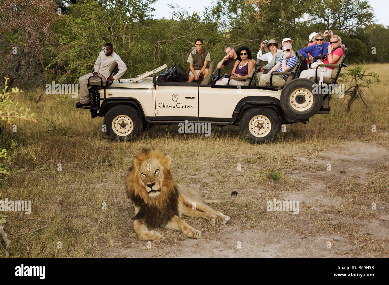 Guests on a game drive photographing an adult male lion Chitwa Chitwa Private Game Lodge Sabi Sand Game Reserve - Stock Image