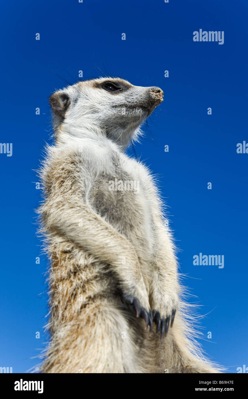 Suricate Meerkat Suricata suricatta Sentinals stand upright to gain wider view of surrounding area Botswana - Stock Image
