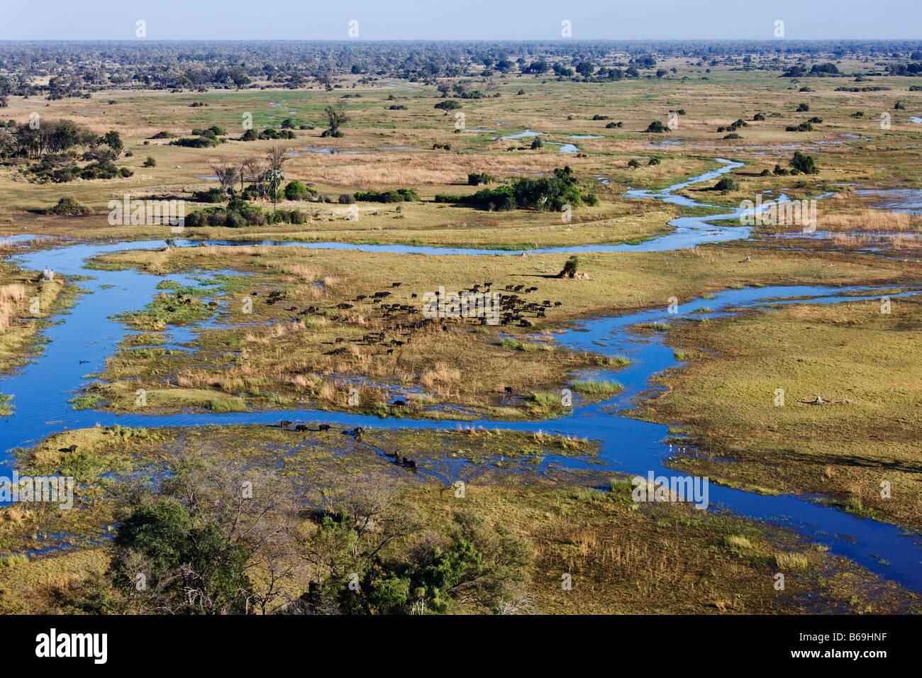 Aerial view of Cape Buffalo over the Okavango Delta botswana - Stock Image