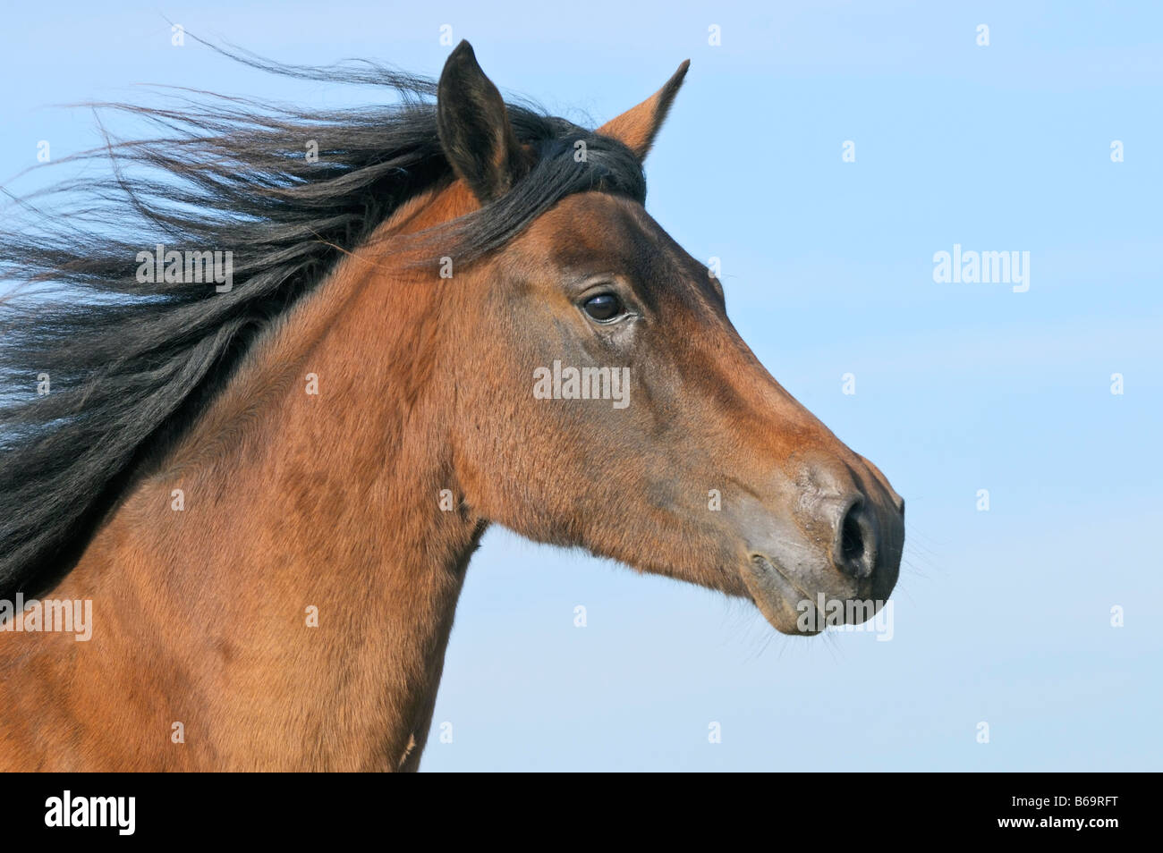 Horses Head Side View High Resolution Stock Photography And Images Alamy