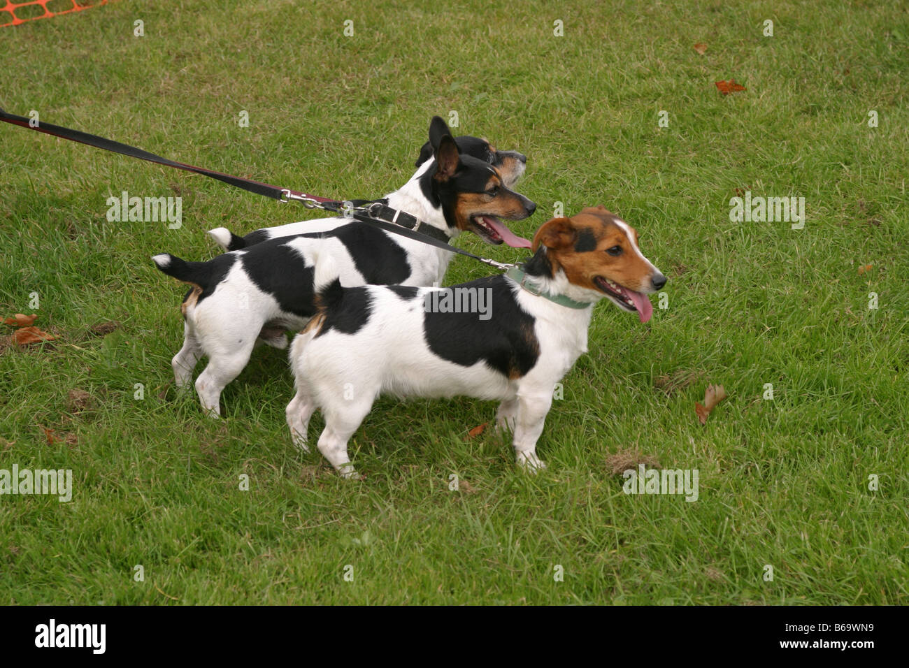 Jack Russell Terriers - Stock Image
