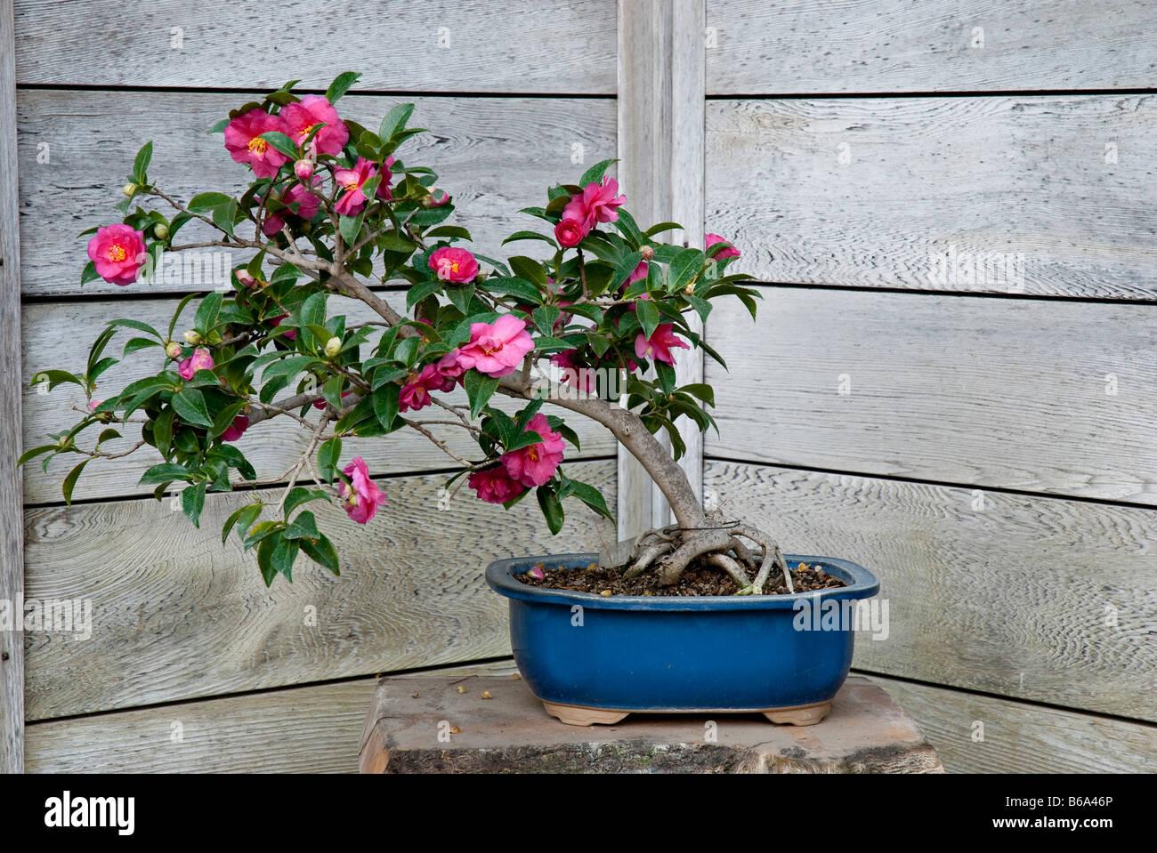 Camellia Shishi Gashira Grown As Bonsai At The Huntington Stock Photo Alamy