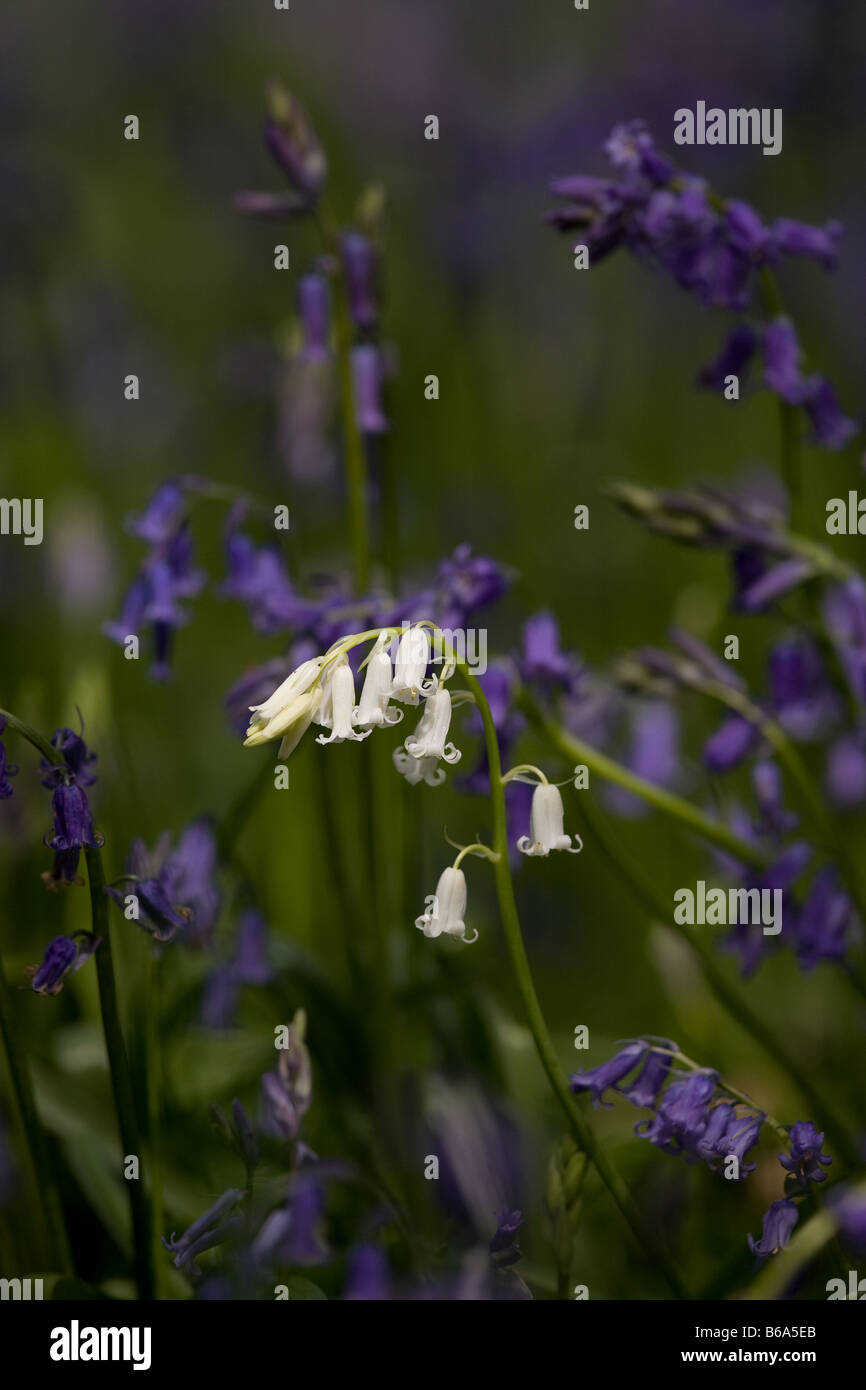White Bluebell in East Sussex, South-East of England Stock Photo