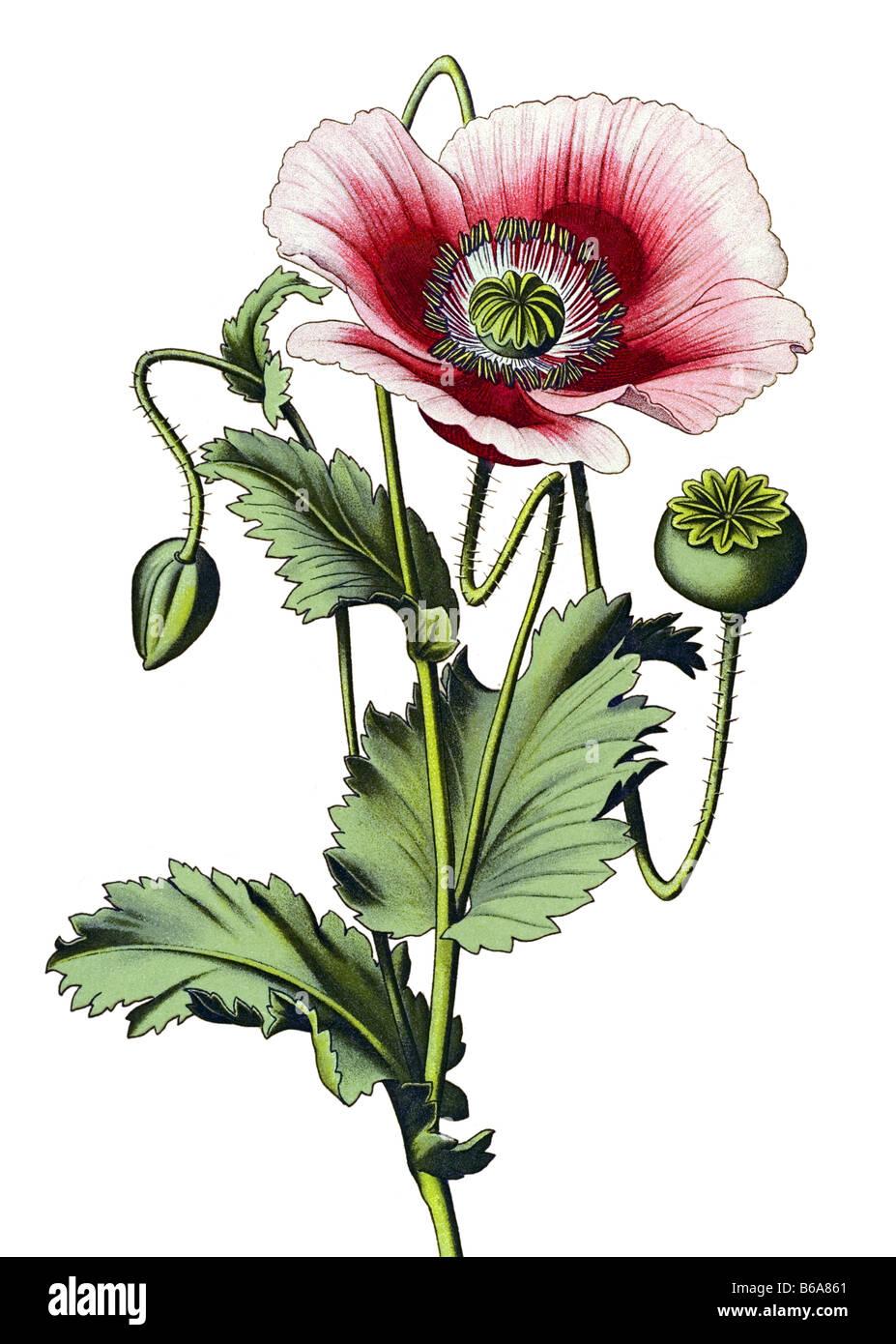 Botanical Illustration of the Papaver Bracteatum Persian Poppy