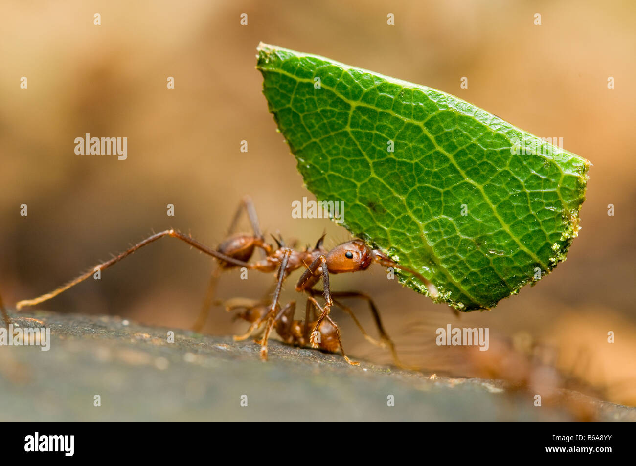 LEAF-CUTTER ANT carrying leaf Atta sp. Amazonian Rainforest Stock Photo