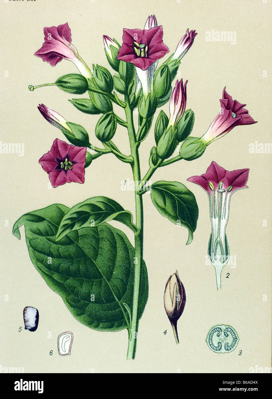 Nicotiana Tabacum Images: Cultivated Tobacco, Nicotiana Tabacum Poisonous Plants