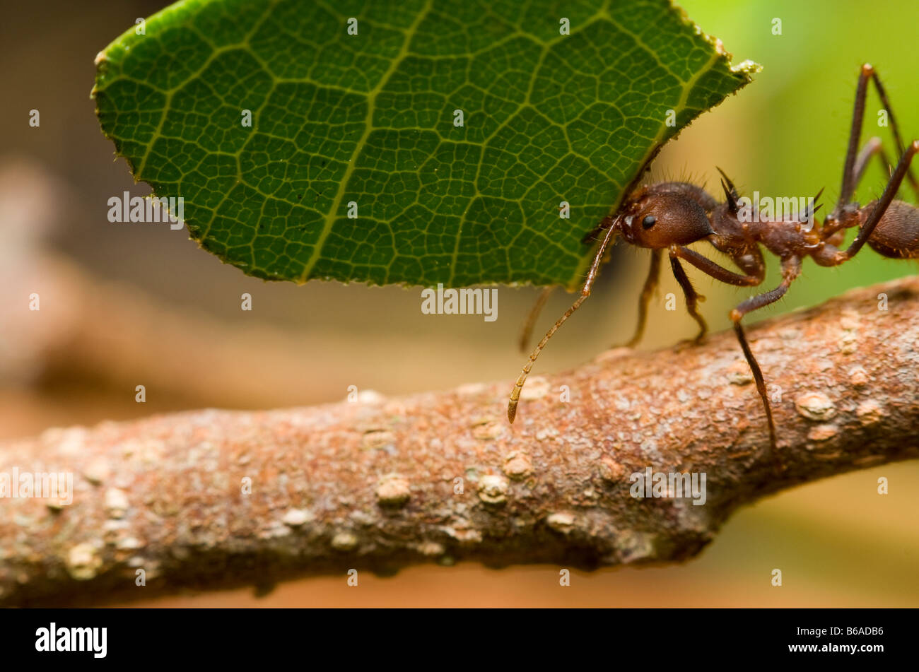 LEAF-CUTTER ANT carrying leaf Atta sp. Amazonian Rainforest - Stock Image