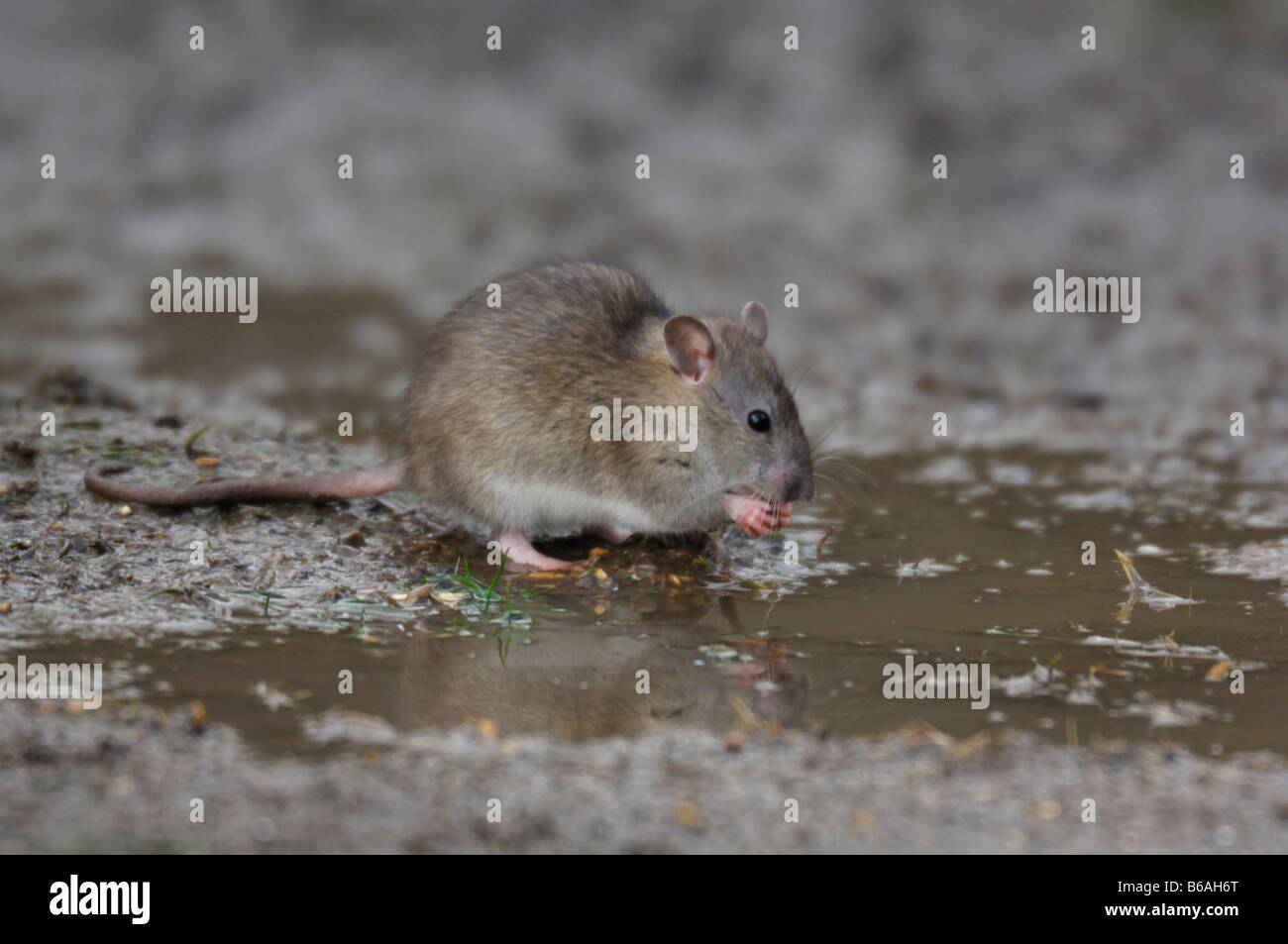 Brown Rat(Rattus norvegicus) drinking from a puddle. - Stock Image