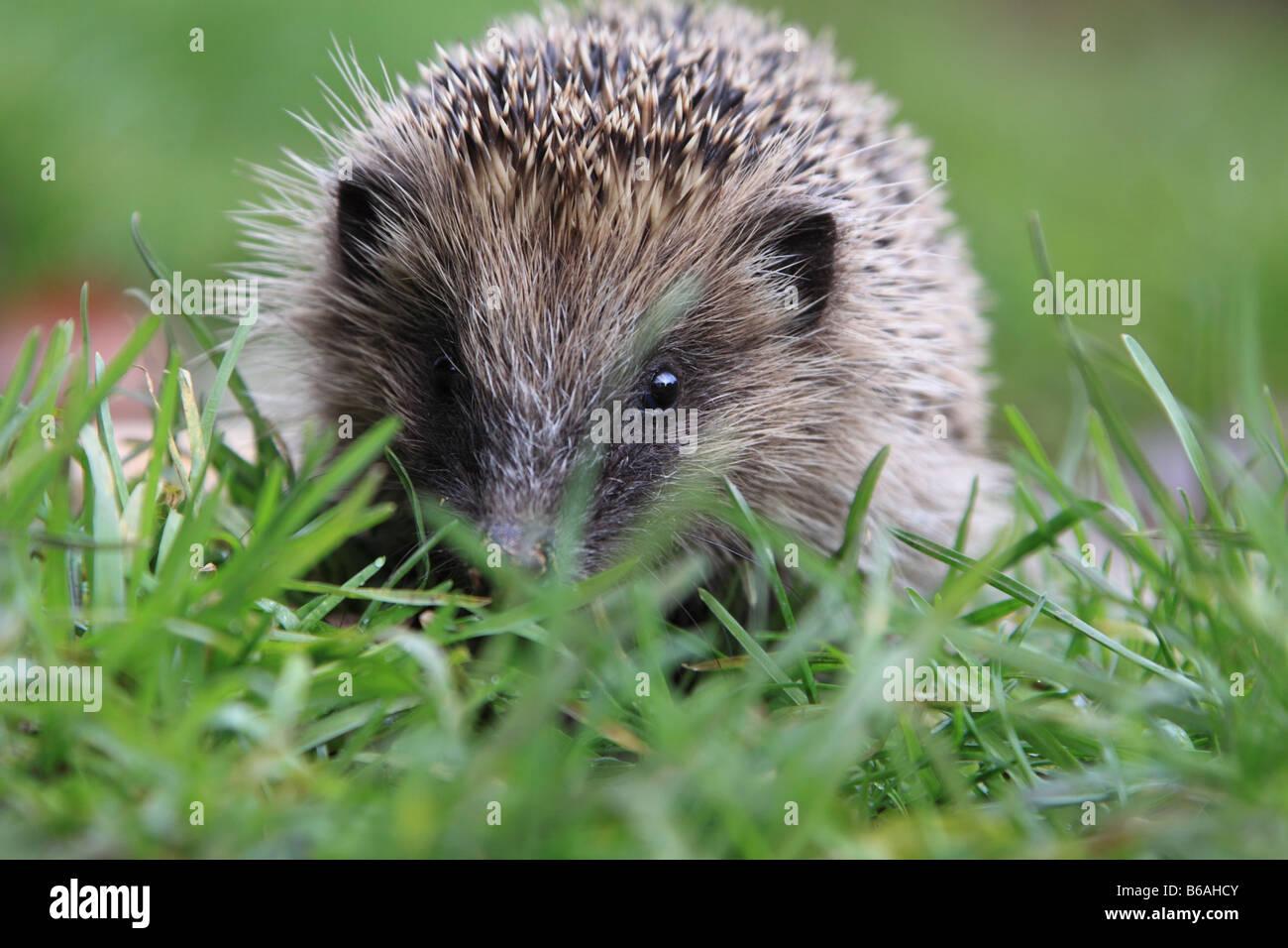 Young Hedghog (erinaceus europaeus), England, UK - Stock Image