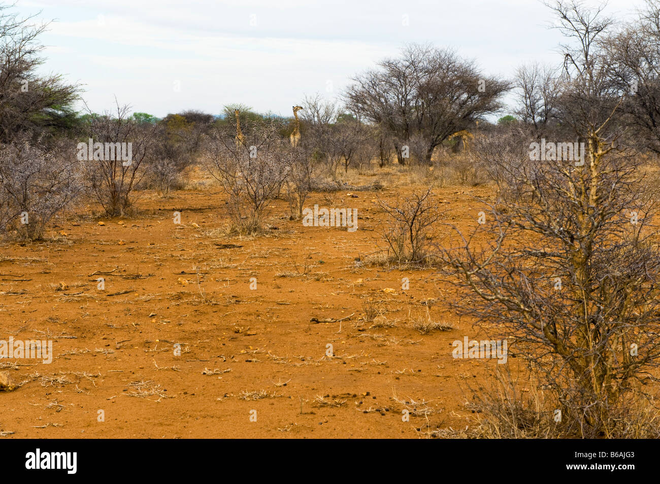 red earth ground SAVANNAH savanne south-africa bush woodland landscape south africa acacia - Stock Image