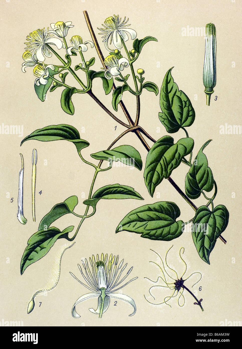 Old man's beard, Clematis vitalba, poisonous plants illustrations - Stock Image