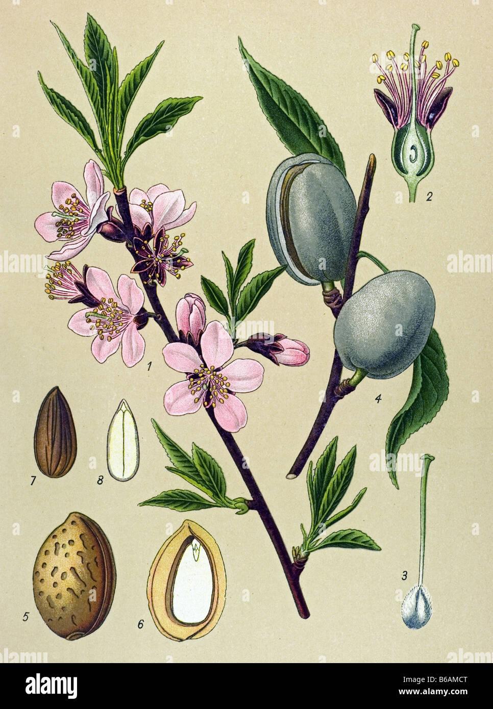Botanical Illustration of the Almond