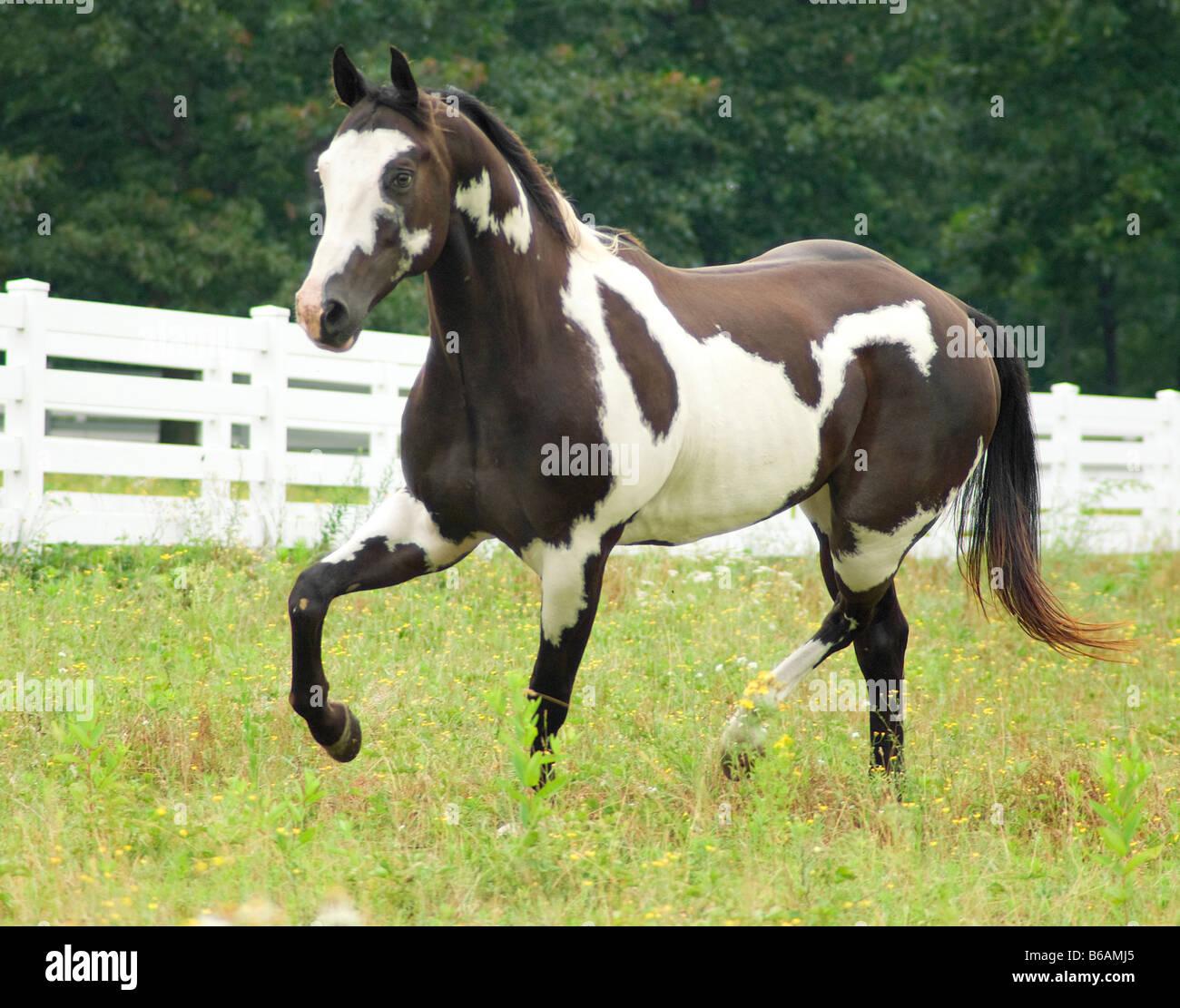 American Paint Quarterhorse gelding - Stock Image