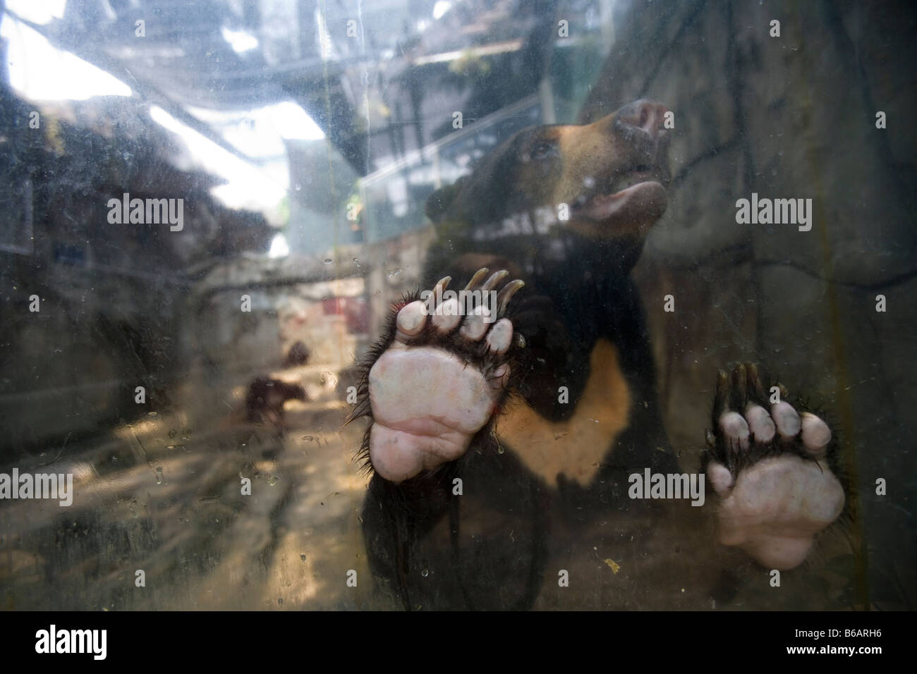 A sun bear places it's paws of the window at a Bangkok zoo. - Stock Image