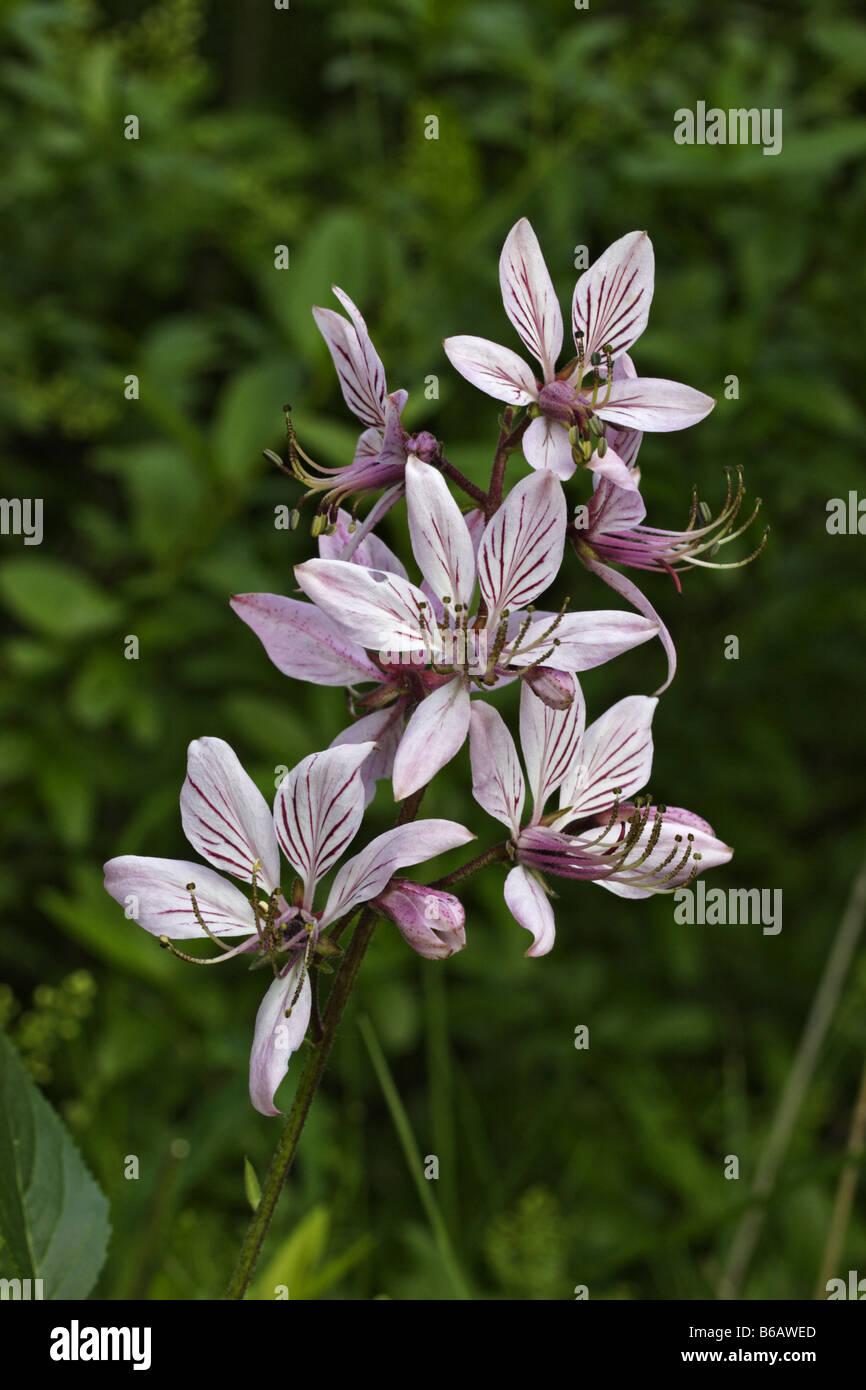 Diptam Dictamnus albus  angiosperm - Stock Image