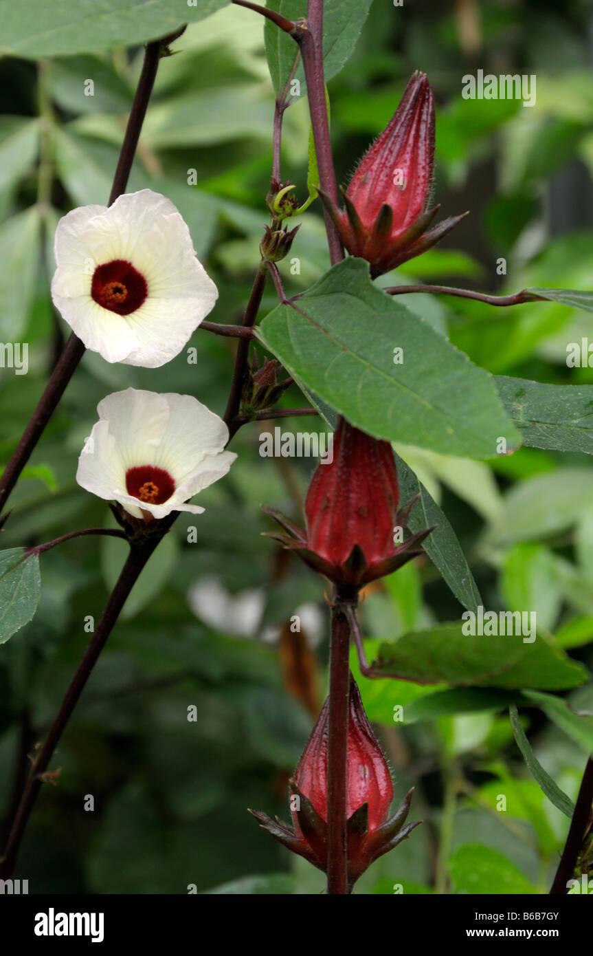 Roselle Jamaica Sorrel Hibiscus Sabdariffa Flowers And Buds