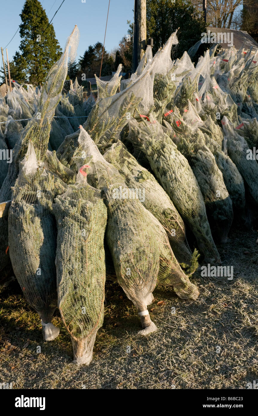 Christmas Trees Wrapped In Plastic Netting On Sale Wales Uk Stock