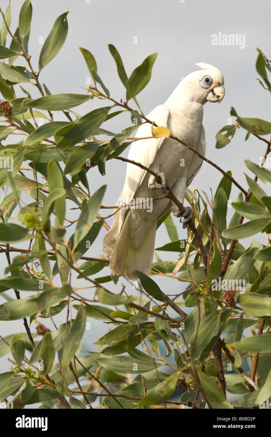 Little Corella (Cacatua sanguinea) feeding on Strap Wattle (Acacia holosericea) Window on the Wetlands Visitors - Stock Image