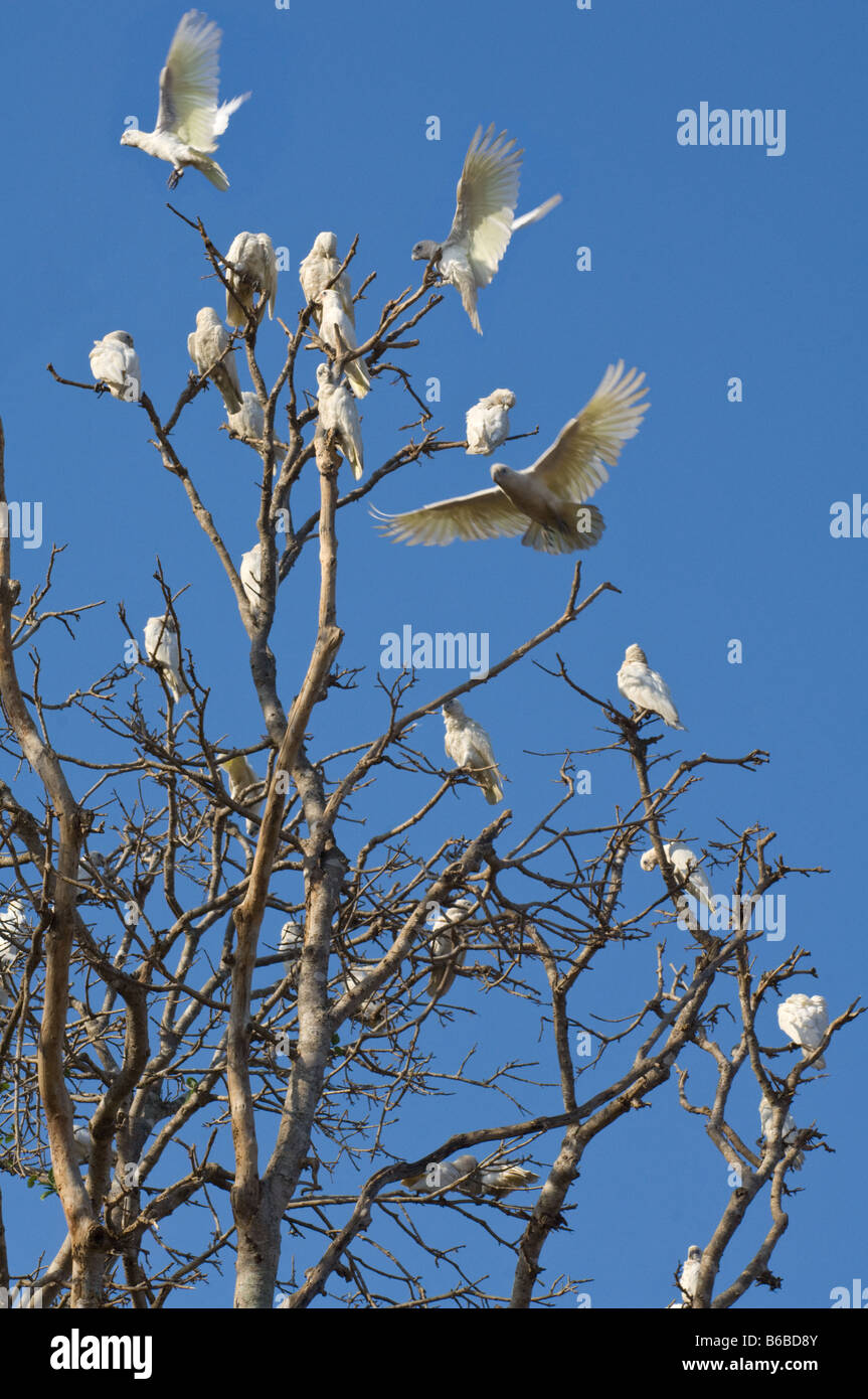 Little Corella (Cacatua sanguinea) flock settling down for the night on tree top Shady Camp Mary River Northern - Stock Image