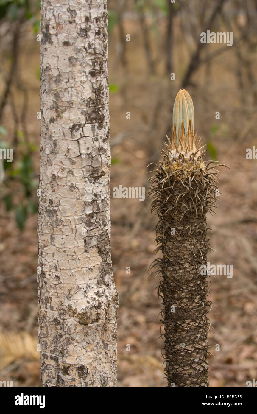 Armstrong Cycad (Cycas armstrongii) vulnerable emerging new leaves ...
