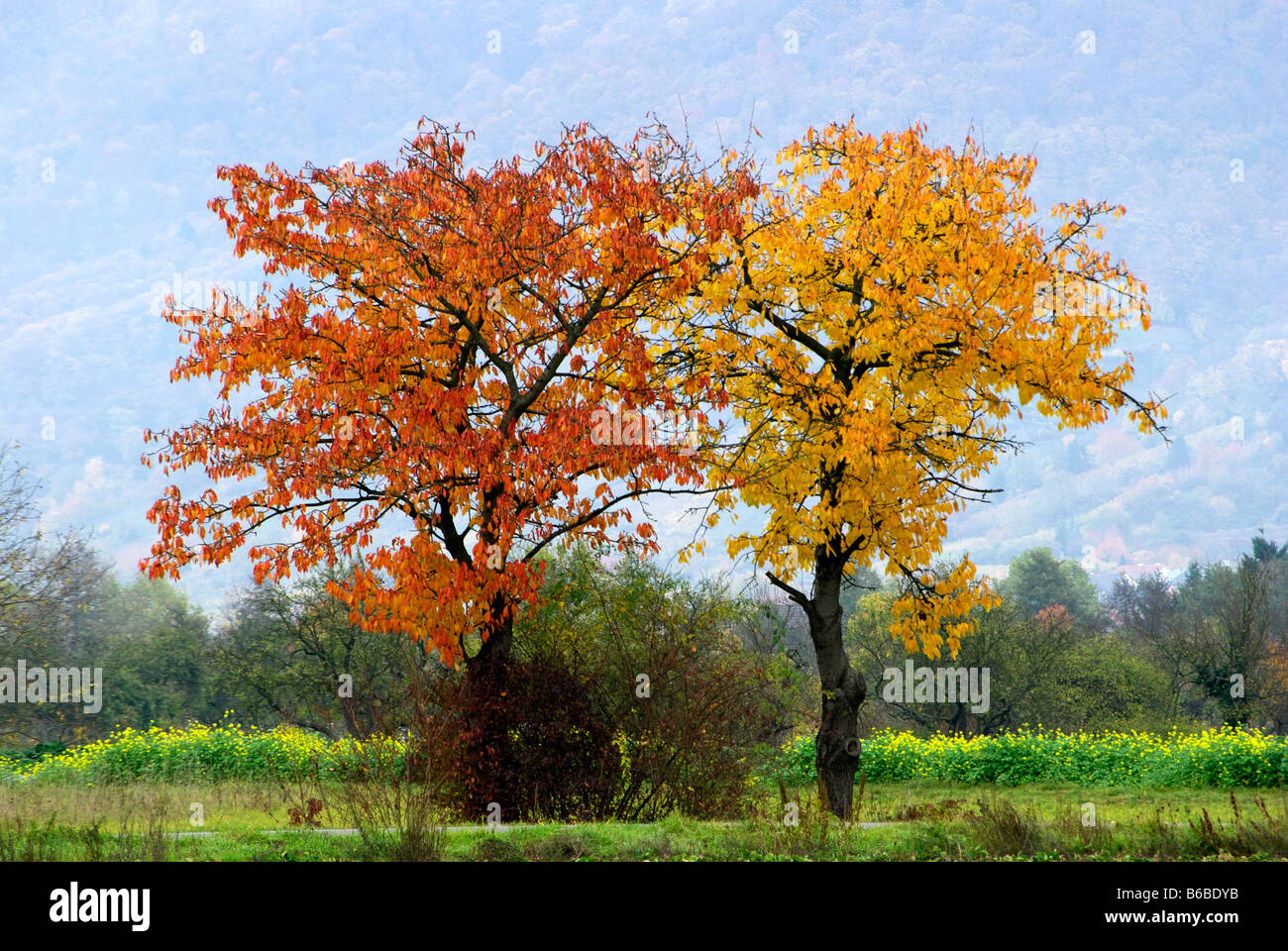 two apple trees in autumn one with orange leaves one with yellow stock photo 21150735 alamy. Black Bedroom Furniture Sets. Home Design Ideas