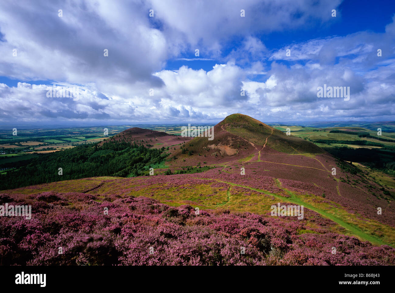 Eildon Hills in summer heather, near Melrose, Scottish Borders, Scotland - Stock Image