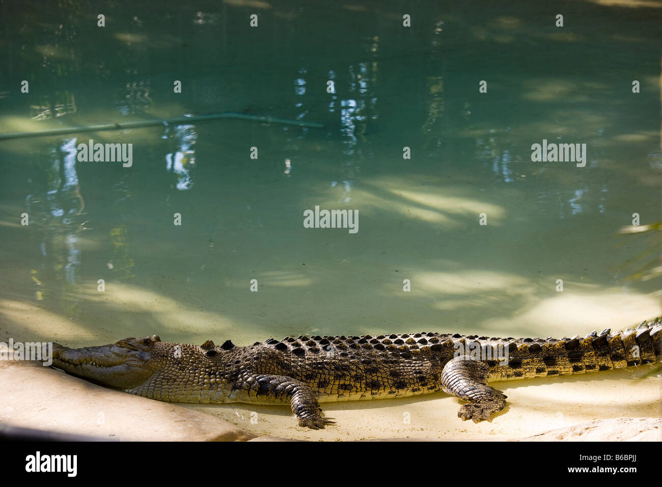Saltwater Crocodile in The Australia Zoo, the zoo of the Steve Irwin Family near Brisbane Australia. - Stock Image