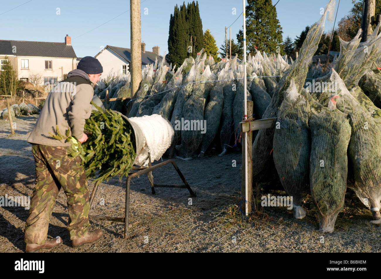 Christmas Trees On Sale Man Wrapping A Tree In Plastic Netting  Pontrhydygroes Ceredigion Mid Wales UK