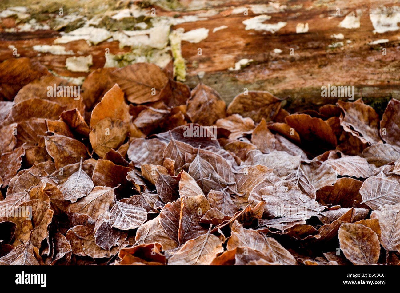Copper Beech trees leaves on the ground in Thorndon Park in Essex. Stock Photo