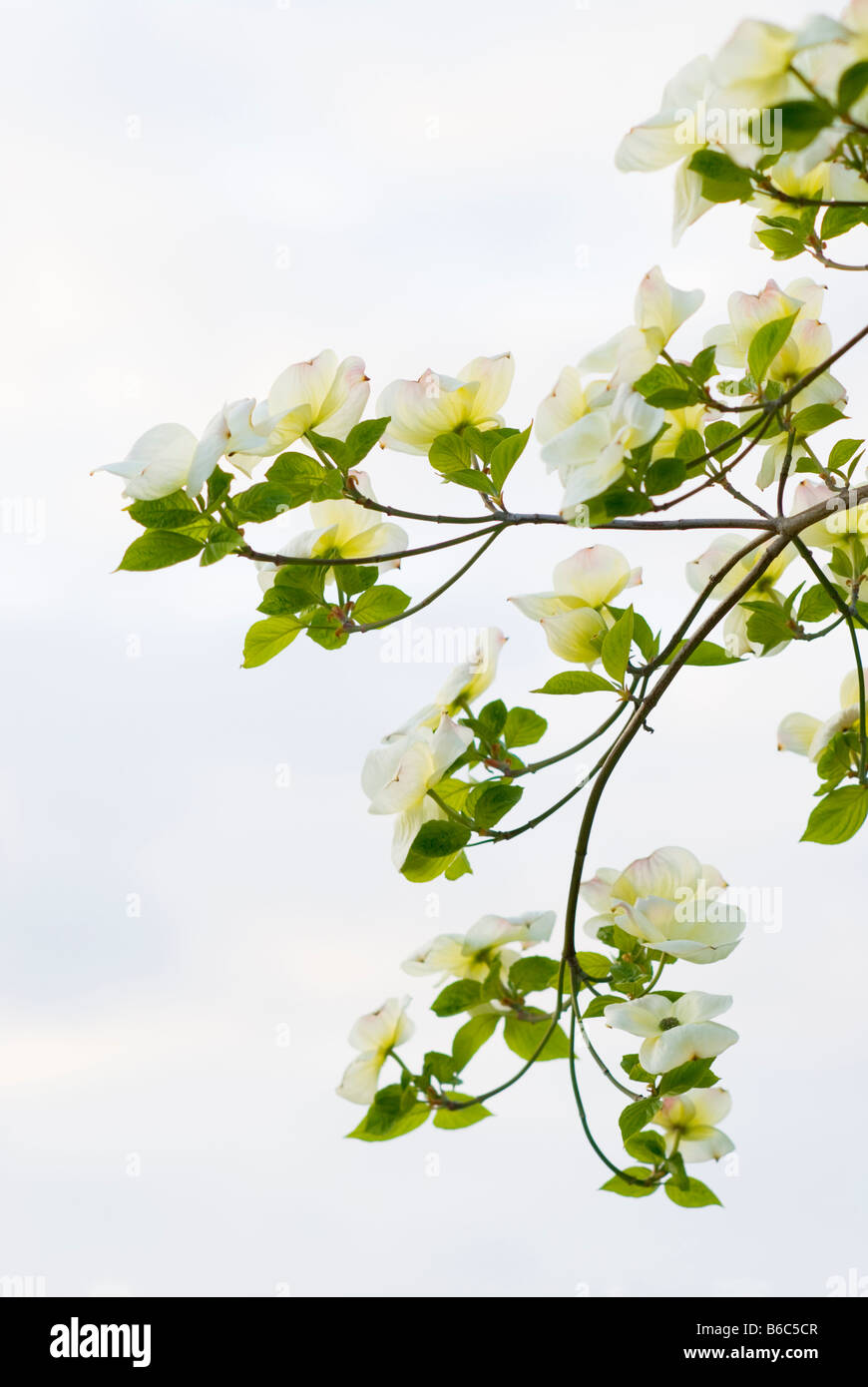 Graceful branches of a flowering Pacific Dogwood Cornus Nauttallii tree against a soft sky British Columbia Canada - Stock Image