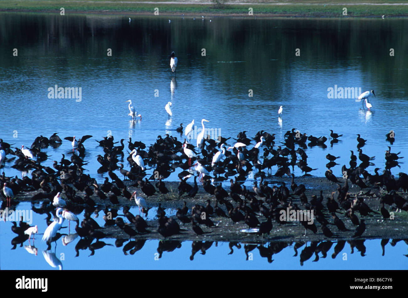 Jabiru stock, wood storks, cormorants, white ibis and several types of egret wade in the Crooked Tree Lagoon, Belize - Stock Image