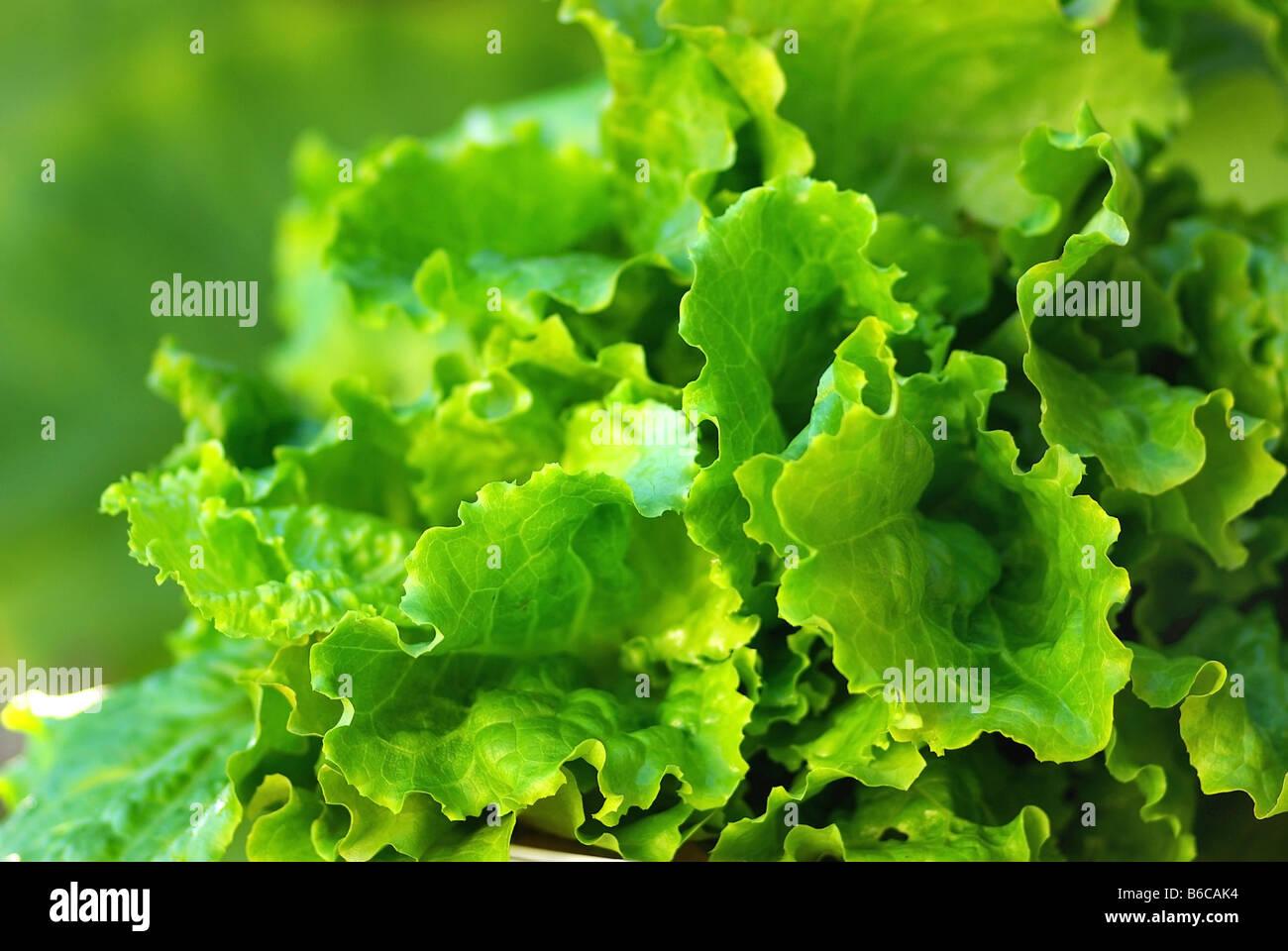 Green lettuce. - Stock Image