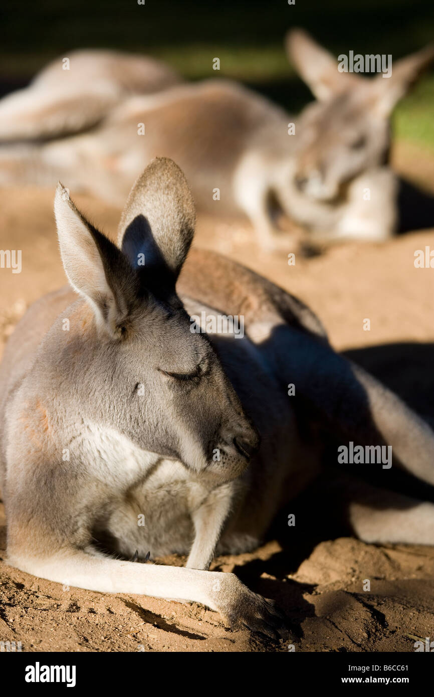 Two kangaroos resting and sunbathing in the Australia Zoo of the Irwin Family near Brisbane Stock Photo