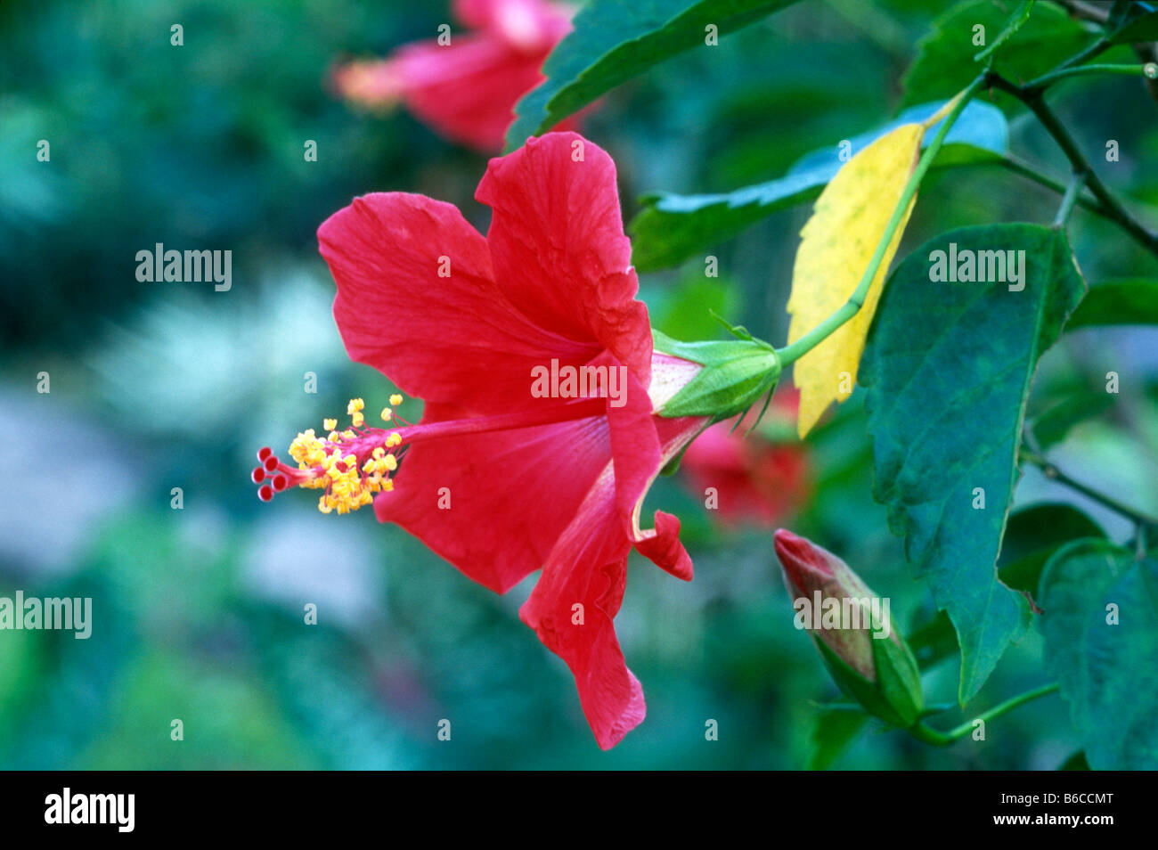 Hibiscus Stock Photos Hibiscus Stock Images Alamy