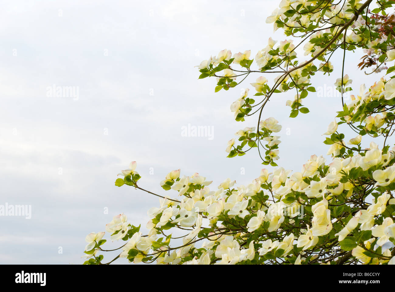 Cornus Tree Stock Photos & Cornus Tree Stock Images - Alamy