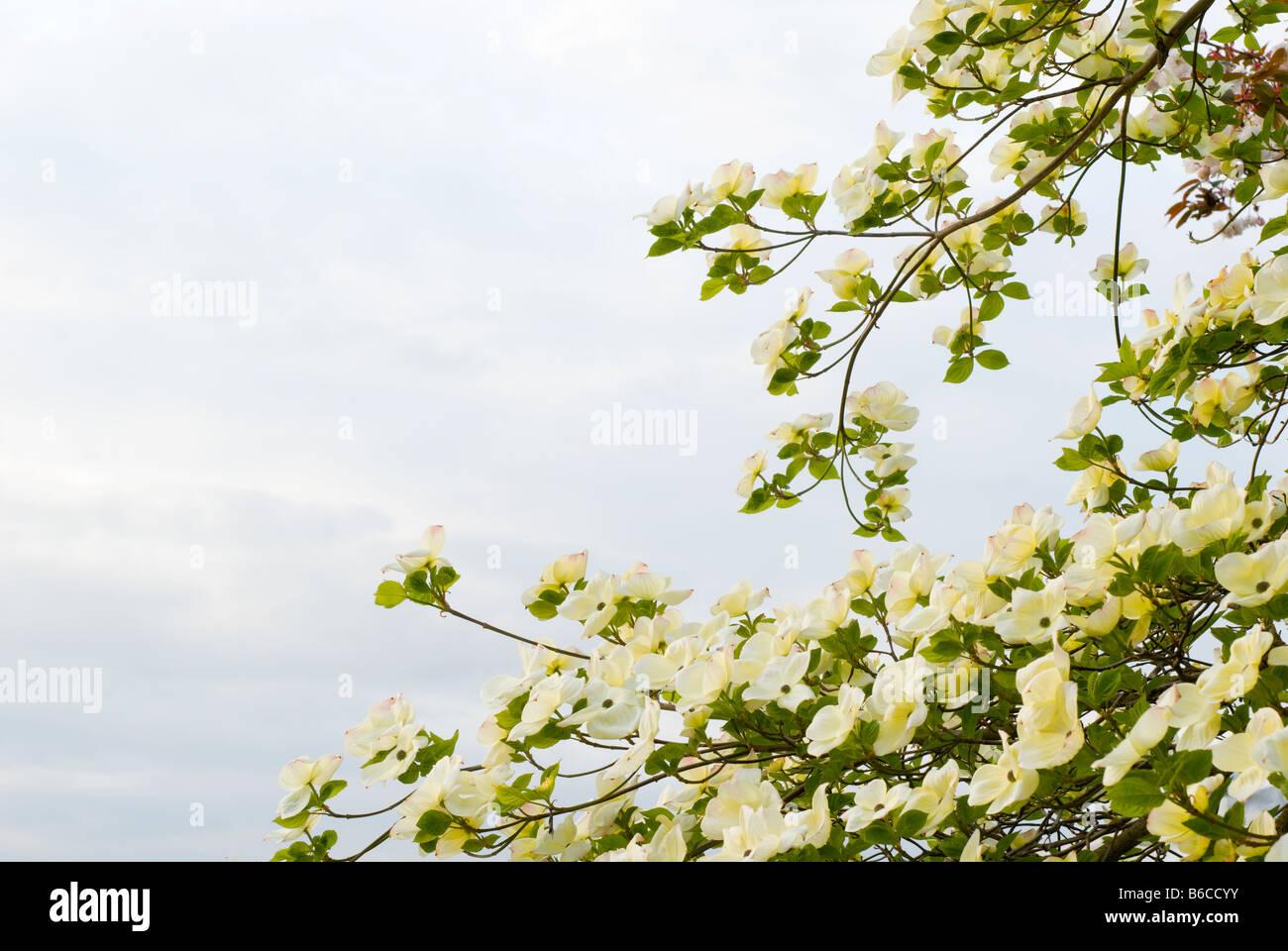 A Pacific Dogwood Cornus Nauttallii tree in full bloom British Columbia Canada - Stock Image
