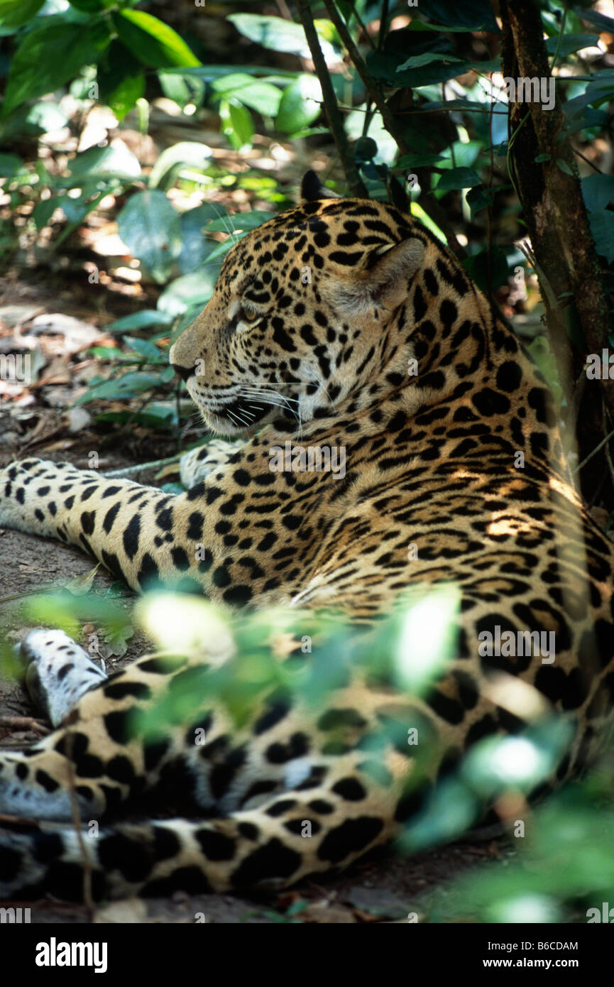 Profile of jaguar (Panthera onca) laying down amidst foliage at the Belize Zoo. - Stock Image