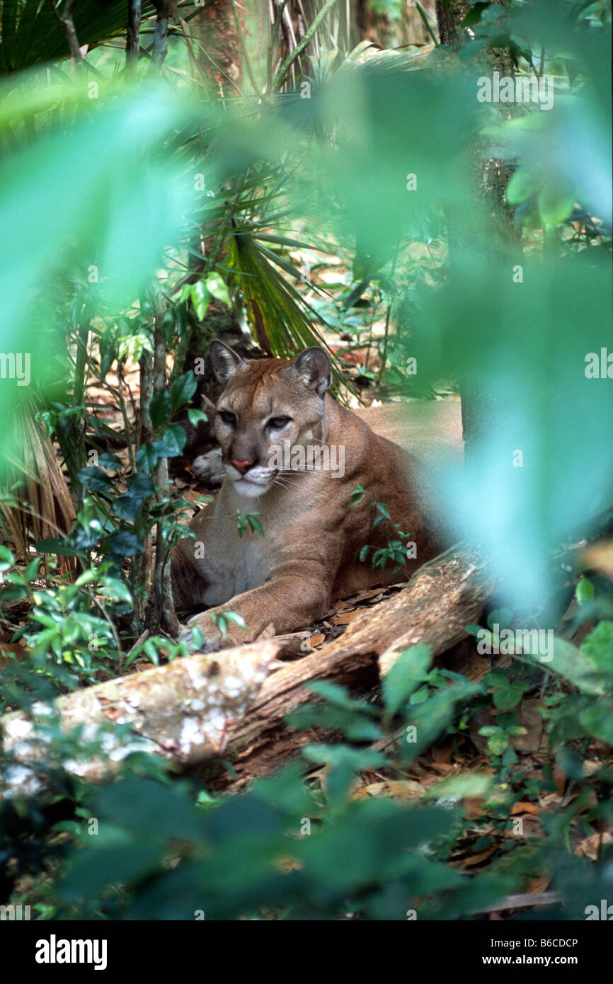 Surrounded by lush foliage, puma (Felis concolor) in Belize Zoo rests in the shade. - Stock Image