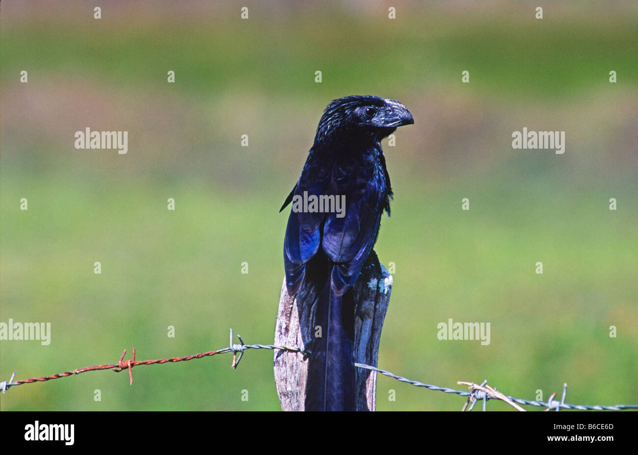 Grooved bill Ani (Crotophaga sulcirostris) with its distinctive humped ridged bill sits on a fence post in Crooked - Stock Image