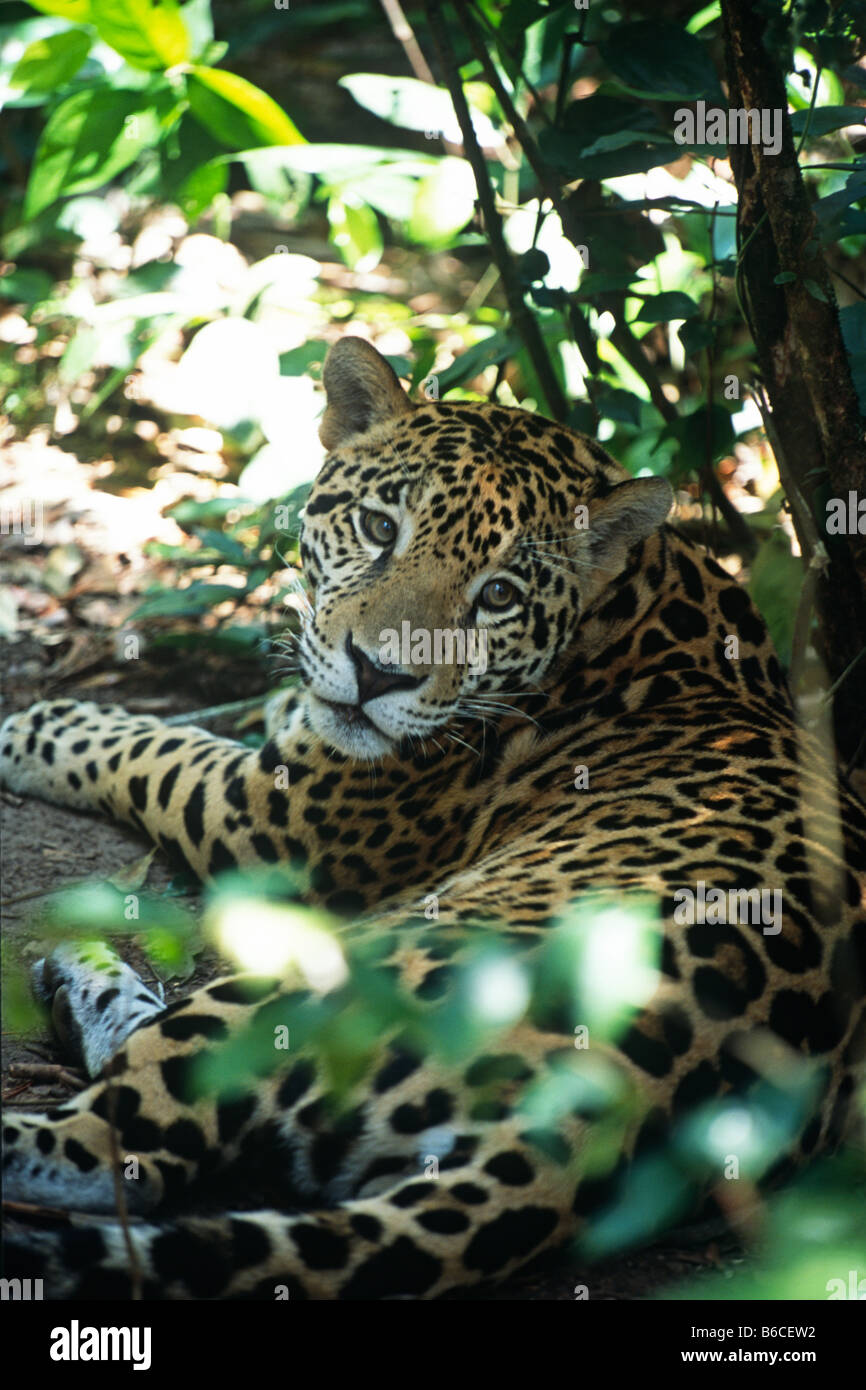 Jaguar (Panthera onca) laying down amidst foliage at the Belize Zoo - Stock Image