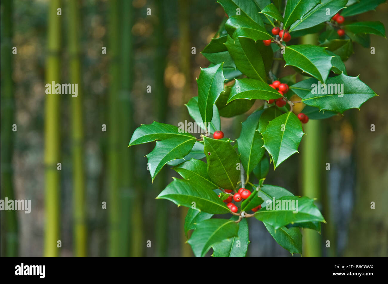 Close Up Christmas Green Holly Leaves And Red Berries Close