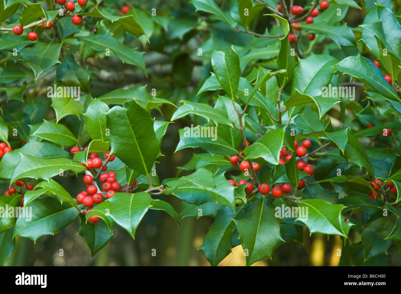 Christmas green holly leaves and red berries on holly tree (ilex ) all over pattern wallpaper winter outdoor background - Stock Image