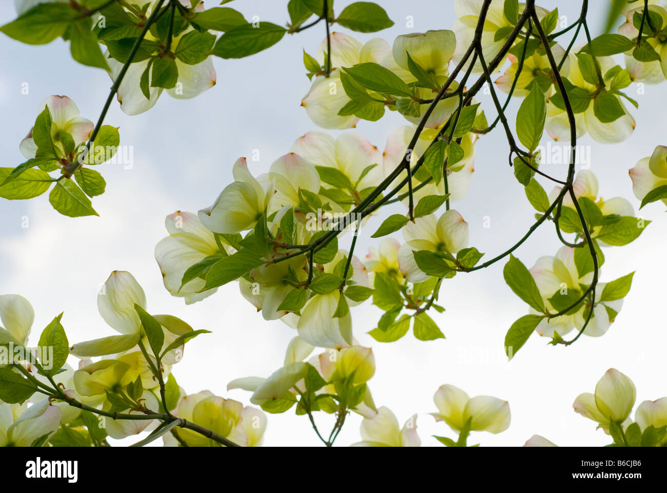 A close up view through a Pacific Dogwood Cornus Nauttallii tree in full bloom - Stock Image