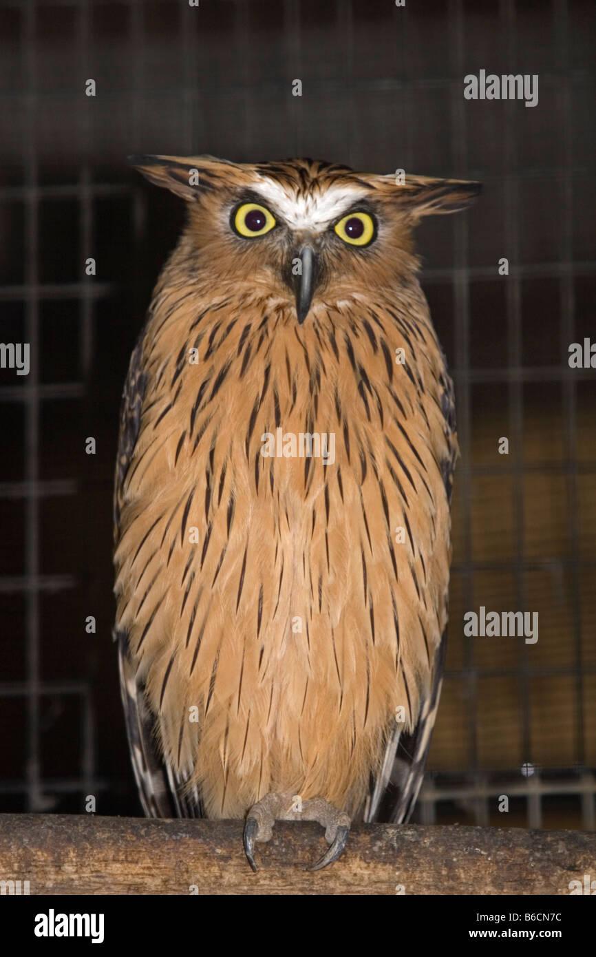 brown fish owl Bubo zeylonensis - Stock Image