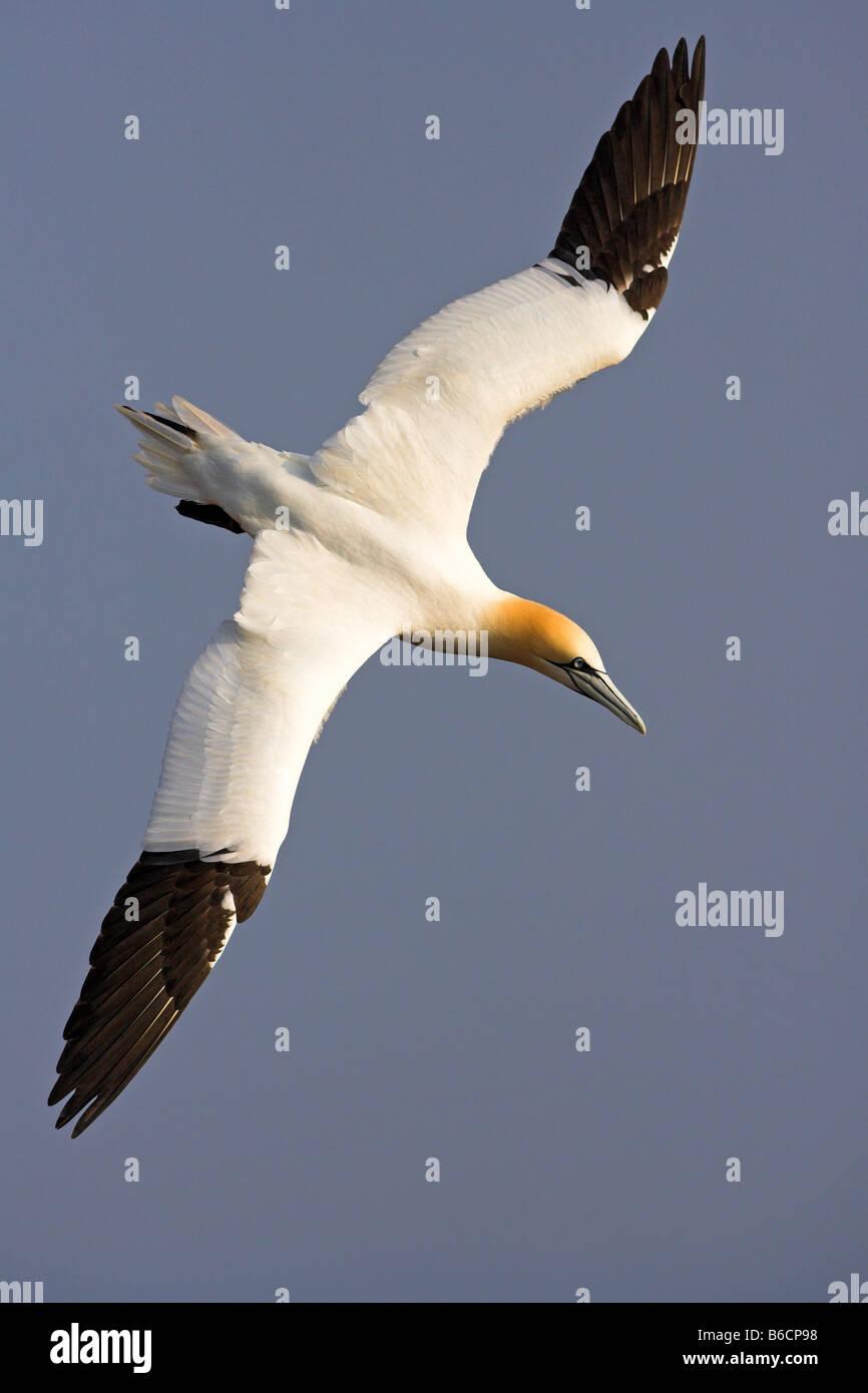 Close-up of Northern Gannet (Morus bassanus) in flight - Stock Image